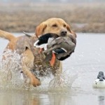 huntingdoggoldenretriever