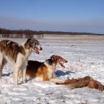 Охота с псовыми борзыми.