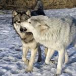 Уничтожение волков.