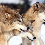 wolfs-44