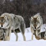 Уничтожены волки.